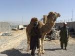camel-3