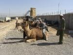 sgt-meyer-camel